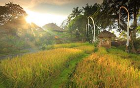 Rice Harvest Experience at Kamandalu Ubud