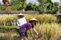 Paddy Harvesting Festival