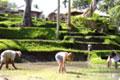 Paddy Planting